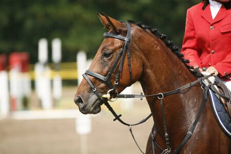 horse competition: Head-shot of a show jumper horse during competition with jockey Stock Photo