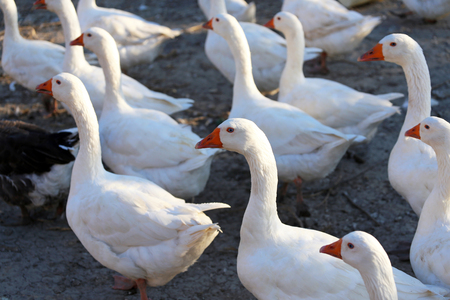 poultry yard: Flock of geese on the poultry yard