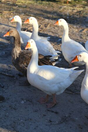 land animals: Flock of white domestic geese on the farm.