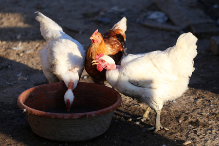 rural scene: Three chicken on the poultry yard rural scene Stock Photo