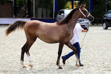 purebred: Purebred arabian horse on a  foal show