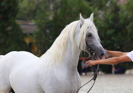 showground: Beautiful half-bred stallion posing on a horse event Stock Photo