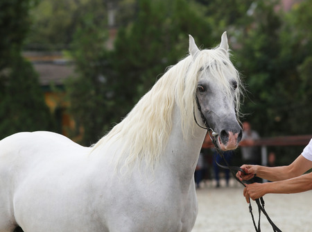 showground: Breeder hold a horse with bridle on a horse show.