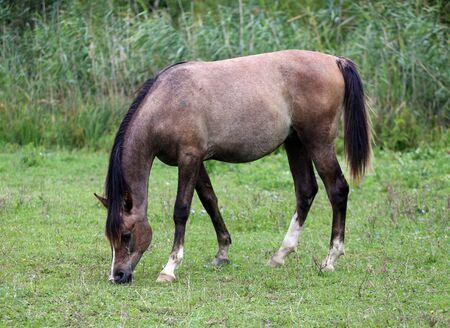 filly: Little arabian filly grazing on pasturelandsummertime