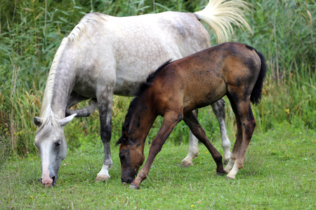 filly: Mare grazing with her filly summertime rural scene