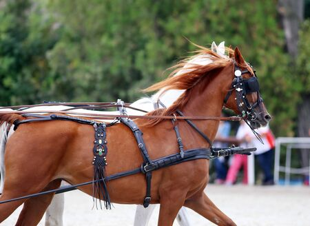 blinders: Purebred horses galloping with trappings. Side view portraits of two thoroughbred horses in harnesses