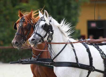 blinders: Group of purebred horses towing a carriage. Side view portraits of two thoroughbred horses in harnesses