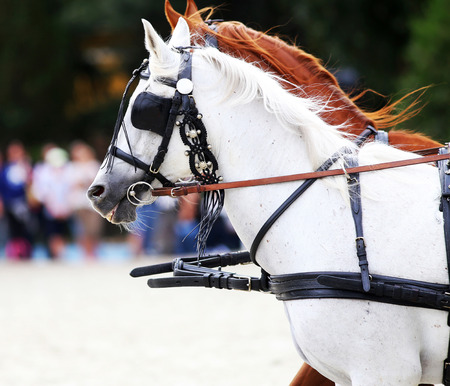 horse collar: Head shot of harness horses with blinds. Side view portraits of two thoroughbred horses in Harnesses Stock Photo