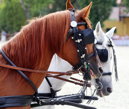 blinders: . Head shot of harness horses with blinds. Heads of two thoroughbred horses in Harnesses