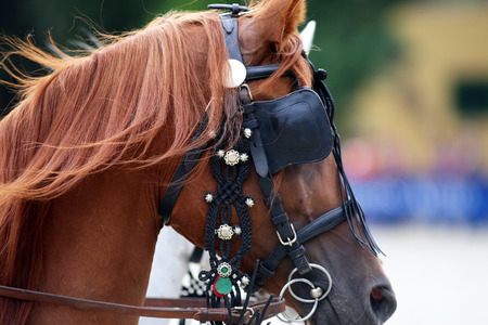 Face of beautiful purebred horse with trappings. Side view of a thoroughbred horse portraits in Harnesses Standard-Bild