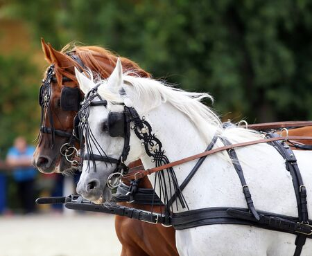blinders: Horses galloping in beautiful leather trappings. Side view portraits of two thoroughbred horses in harnesses