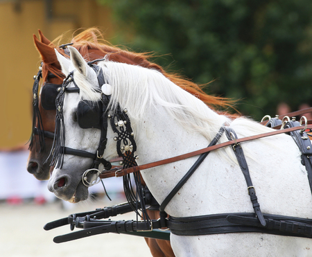 blinders: Group of horses towing a carriage. Side view portraits of two thoroughbred horses in harnesses