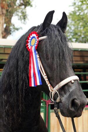 purebred: Beautiful prize-winning purebred friesian horse showing the rosette Stock Photo