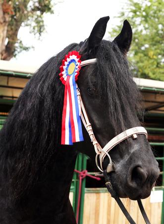 Beautiful prize-winning purebred friesian horse showing the rosette 版權商用圖片