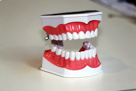 anatomical model: Teeth anatomical model demo against white background