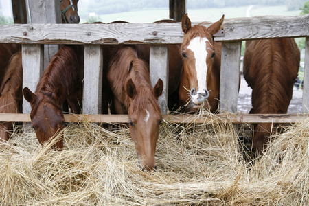 dry grass: Thoroughbred horses in the paddock eating dry grass