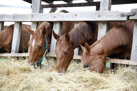 haymow: Group of horses eating hay rural scene
