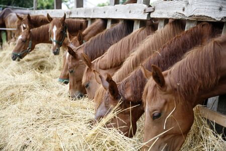 Thoroughbred horses in the paddock eating dry grass 免版税图像 - 46630859