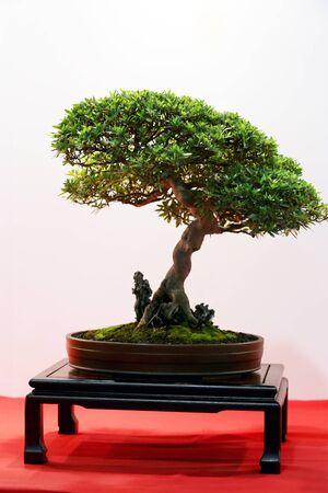 bonsai tree: Artistic potted bonsai  tree in flower pot