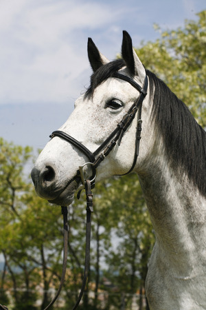 cabeza de caballo: Head shot of a thoroughbred dapple gray horse farmland