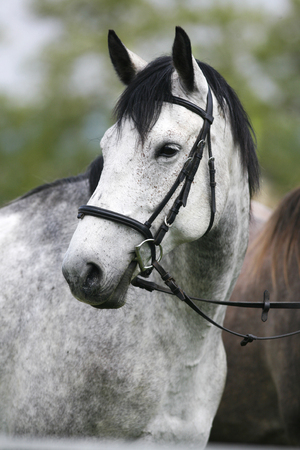 dapple grey: Portrait of a fleabitten grey horse with leather harness in summer corral Stock Photo