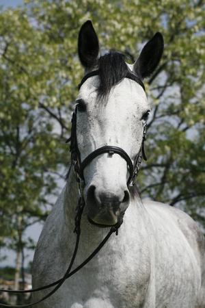 caballo corriendo: caballo de color tordillo con arn�s de cuero en verano corral