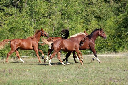 thoroughbred: Thoroughbred horses runs on meadow in a sunny day Stock Photo