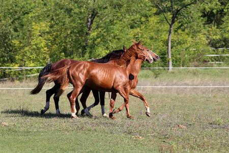 stallions: Beautiful young stallions galloping on pasture summertime Stock Photo