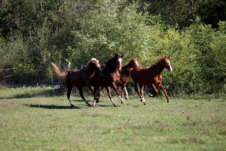 stallions: Four beautiful young stallions galloping on pasture summertime