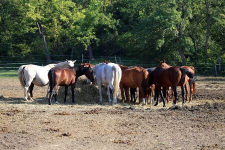 haymow: Herd of purebred horses eating hay in summer corral