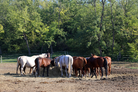 haymow: Group of thoroughbred mares Foals and sharing hay against natural green background