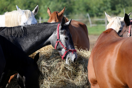 haymow: Herd of purebred horses eating hay in summer corral