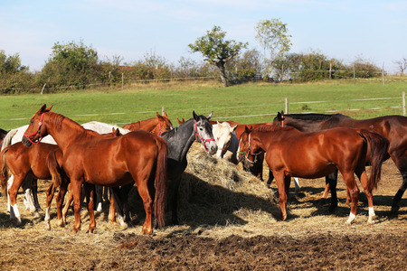 haymow: Herd of purebred brood mares corral eating hay in summer time