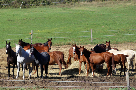 haymow: Group thoroughbred mares and foals sharing hay against green natural background Stock Photo