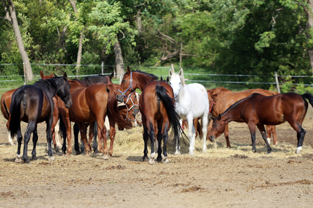 haymow: Herd of purebred brood mares eating hay in summer corral Stock Photo