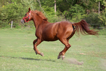 chestnut male: Youngster horse running  across the pasture Stock Photo