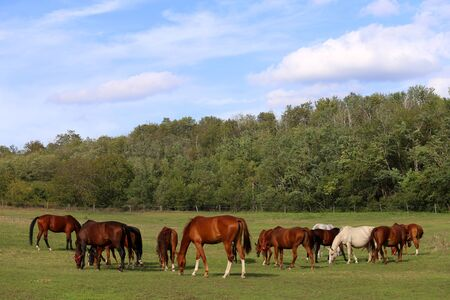 chestnut male: Mares and Foals grazing on the green grass meadow