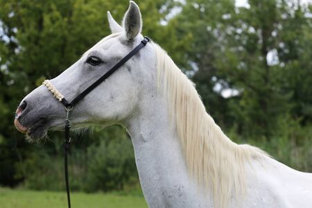 pastureland: Side view portrait of a purebred young arabian horse