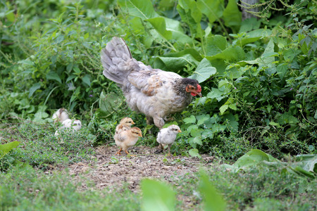 rearing: Hen chick rearing in the natural Stock Photo