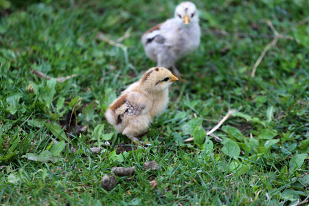 home safety: Close up of chickens in poultry yard Stock Photo