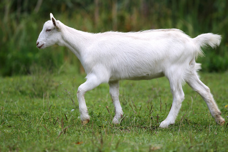 baby goat: White baby goat grazing on a green meadow Stock Photo