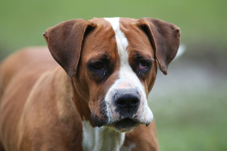 big eye: Smart female american bulldog looking at the camera