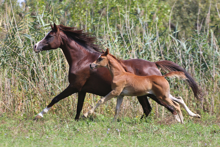 free image: Arabian horses canter on natural background summertime Stock Photo