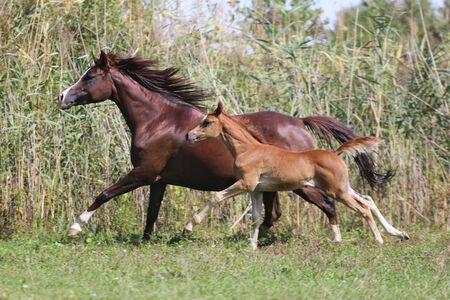 arab beast: Arabian horses canter on natural background summertime Stock Photo