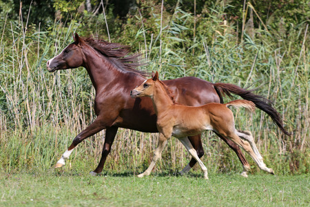 arab beast: Arabian breed foal and mare galloping  in a meadow Stock Photo