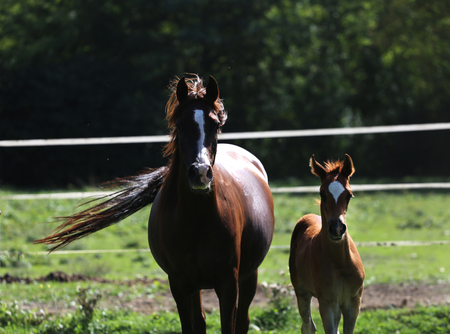 mare and foal: Mare and foal running on pasture Stock Photo