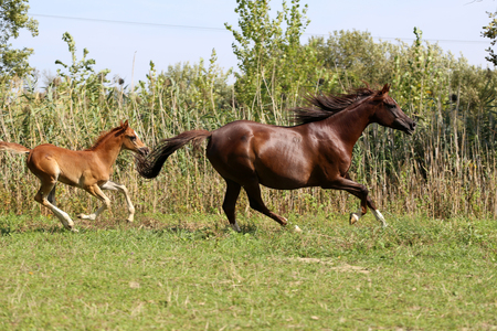 mare and foal: Arabian breed foal and mare galloping  in a meadow Stock Photo
