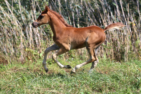 filly: Beautiful young filly gallop in pasture summertime