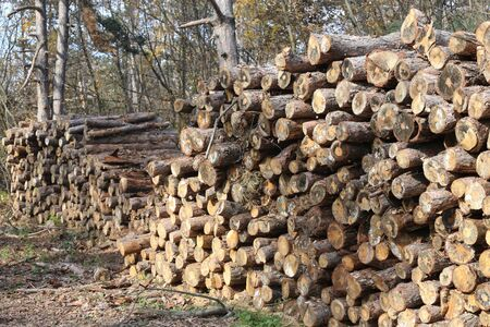 yard stick: Stacked tree wood logs at a pine forest