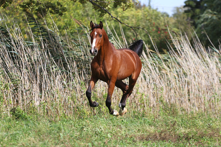 gree: Arabian breed horse galloping across a green summer pasture against gree natural background Stock Photo